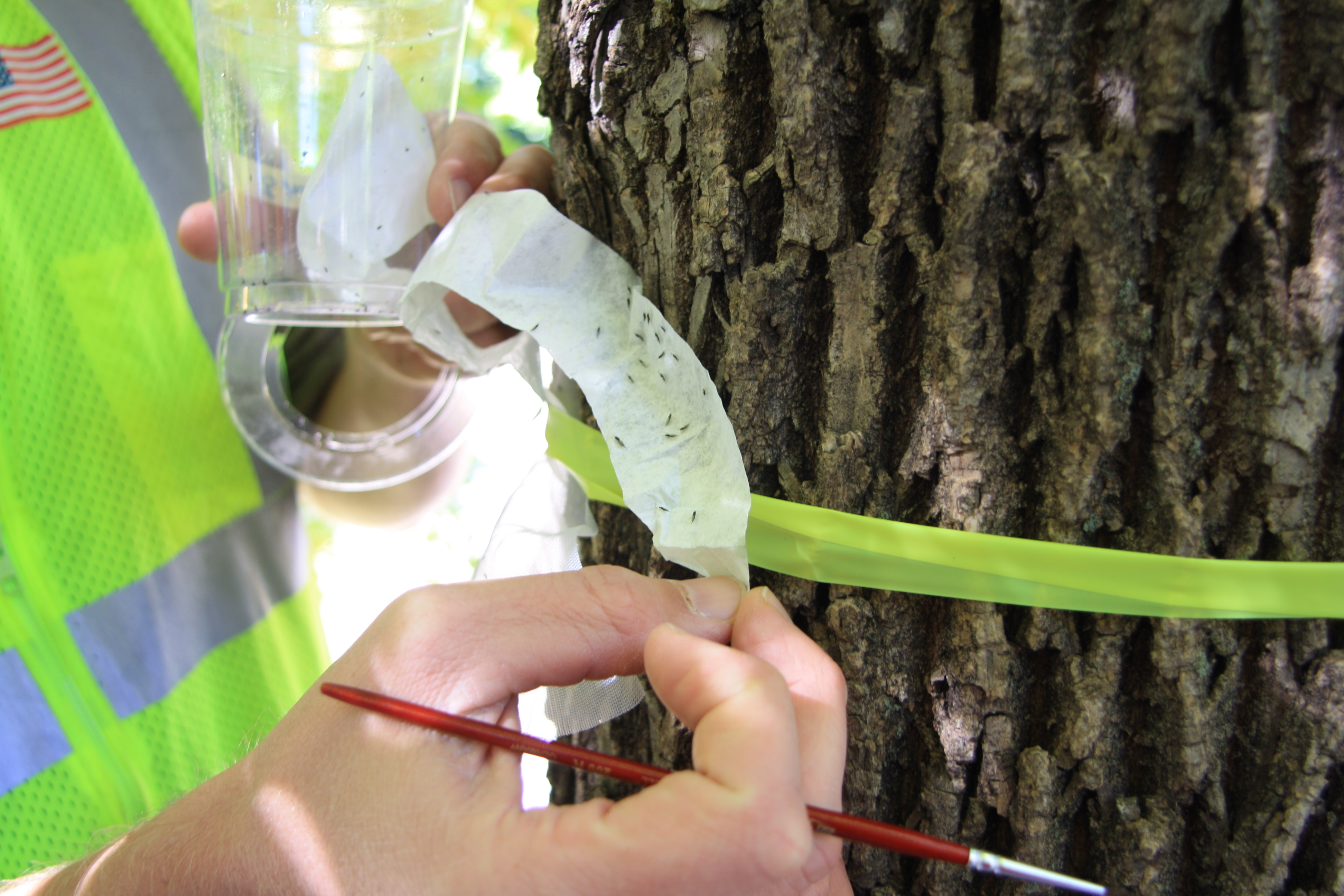 EAB biocontrol release in the Summit-Dale area