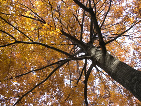 Picture of an Oak tree canopy in the fall