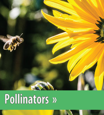 Bee and Flower- Pollinator Picture