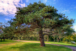 Picture of a large Scotch Pine