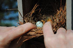 Picture of a robin's egg in a nest