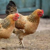 urban_chickens.jpg