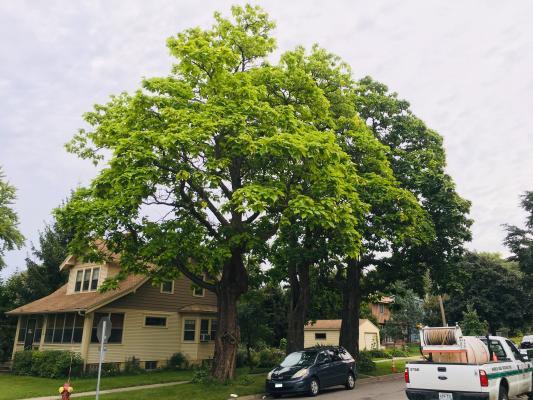 Northern Catalpa - Landmark Tree Winner 2019