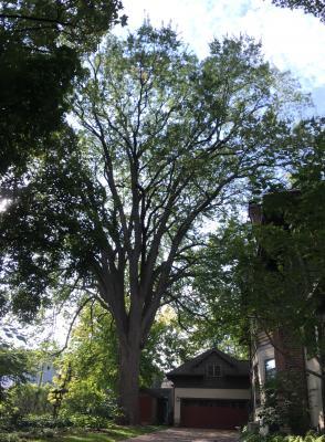 American Elm - Landmark Tree Winner 2019