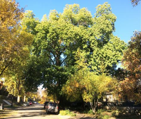 2018 Landmark Tree - 1201 Hague Ave - American Elm