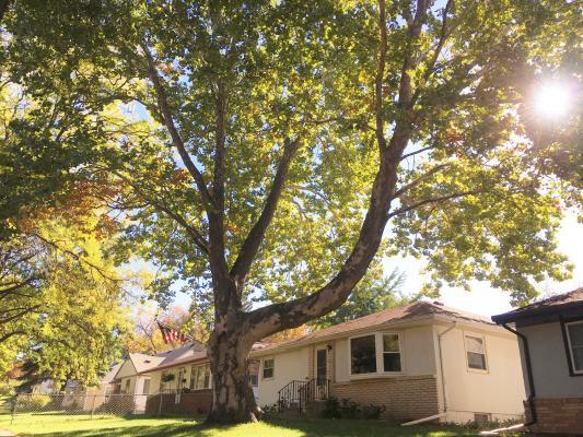 Sycamore - Landmark Tree Winner 2019