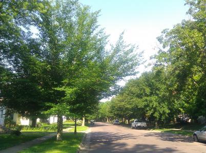 2013 Landmark Tree - American Beech
