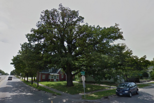 Bur Oak on Robert St