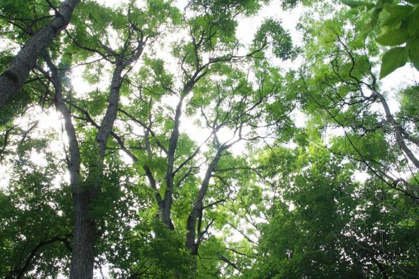 2011 Landmark Tree - Coffeetree Grove