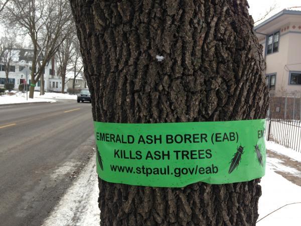 Green ribbon on ash tree