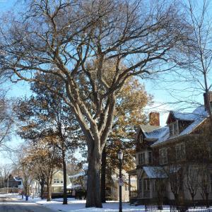 2017 Landmark Tree - American Elm