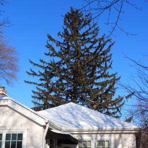 2017 Landmark Tree - Norway Spruce