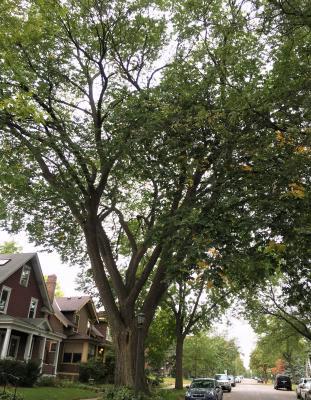 2010 Landmark Tree - American Elm