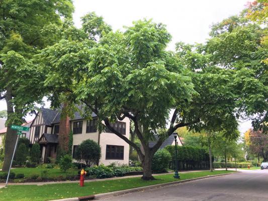 2010 Landmark Tree - Butternut
