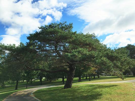 2010 Landmark Tree - Scotch Pine