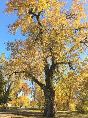 2010 Landmark Tree - Cottonwood