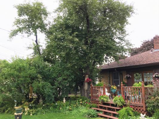 2011 Landmark Tree - Apple