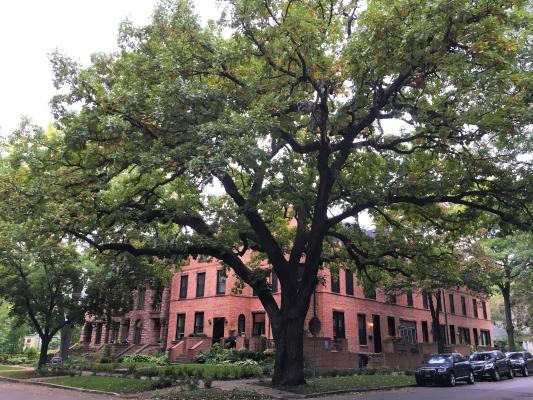 2011 Landmark Tree - Bur Oak
