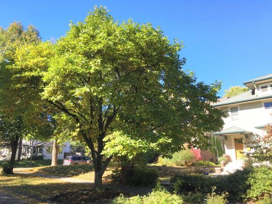 2012 Landmark Tree - Magnolia