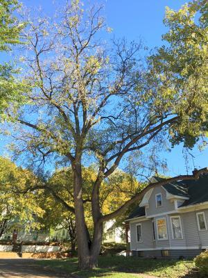2012 Landmark Tree - Black Walnut