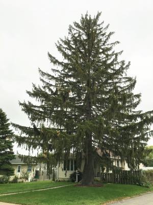 2012 Landmark Tree - Norway Spruce