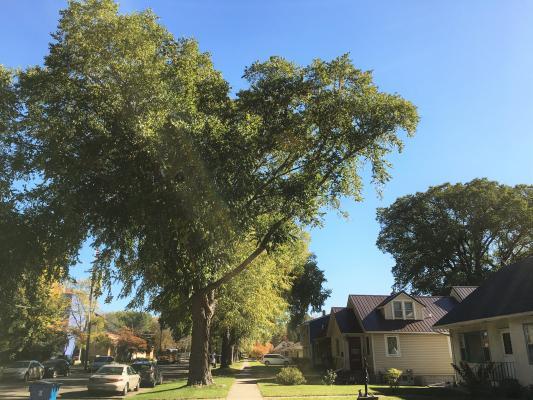 2012 Landmark Tree - River Birch