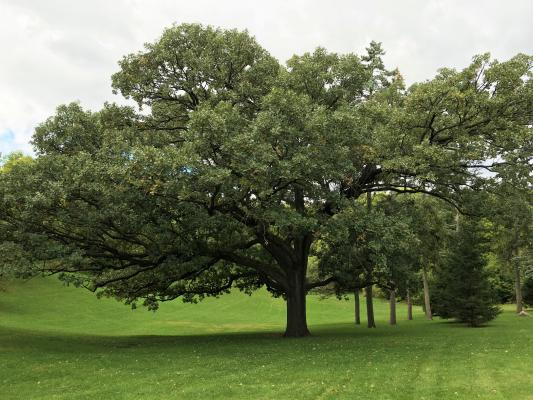 2012 Landmark Tree - Bur Oak