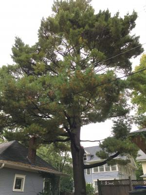 2013 Landmark Tree - White Pine
