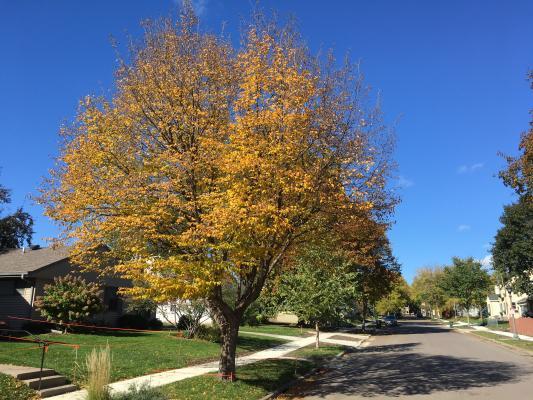 2013 Landmark Tree - Ironwood