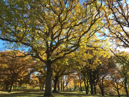 2013 Landmark Tree - White Oak
