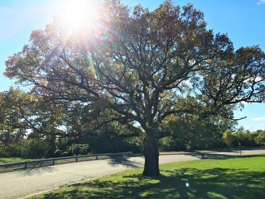 2013 Landmark Tree - Bur Oak