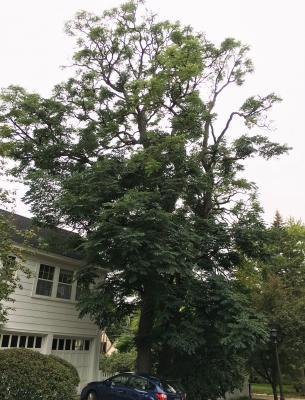 2014 Landmark Tree - Coffeetree