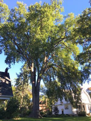 2014 Landmark Tree - American Elm