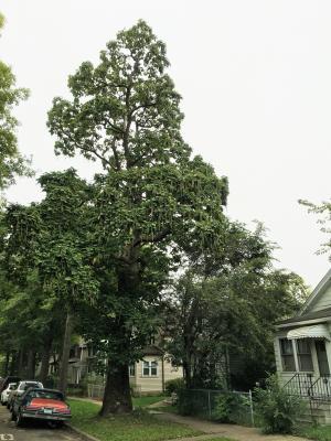 2014 Landmark Tree - Catalpa