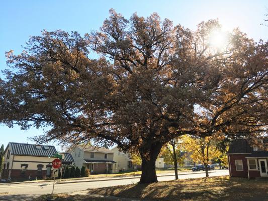 2015 Landmark Tree - Bur Oak