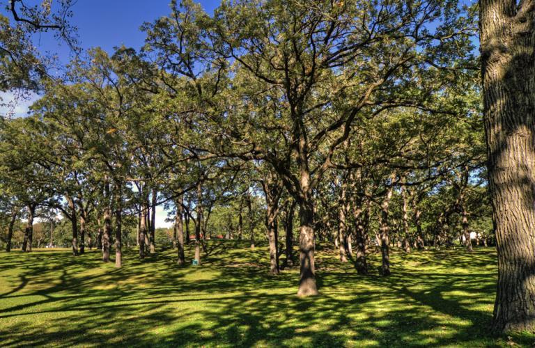 2010 Landmark Tree - Oak Grove