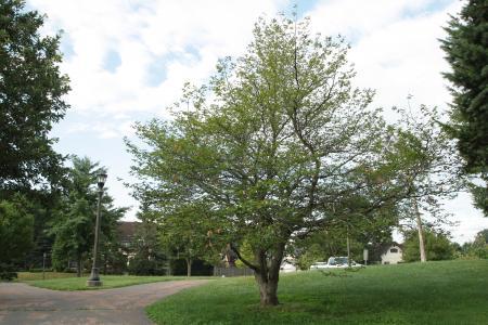 2013 Landmark Tree - Blue Beech